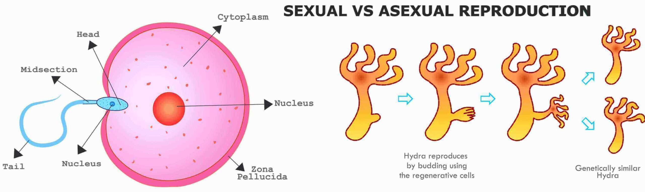 12 Facts About Sexual And Asexual Reproduction That Will Make You Think Twice